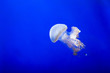 canvas print picture - Colored jellyfish isolated on blue
