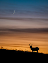 Mule Deer At Sunset In Canada