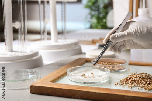 Photo Scientist sorting wheat grains on glass tray at table in laboratory, closeup
