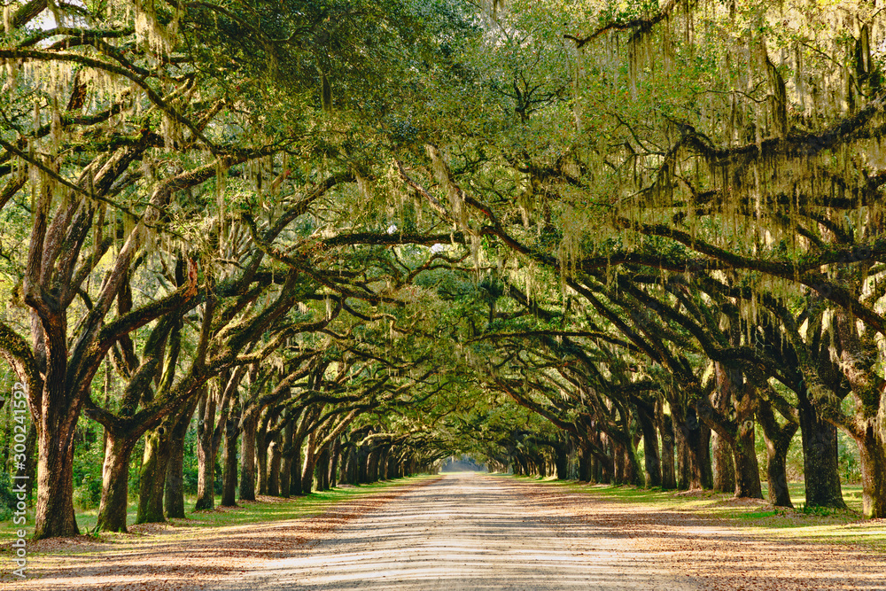 Fototapety, obrazy: A stunning, long path lined with ancient live oak trees draped in spanish moss