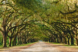 Fototapeta Sawanna - A stunning, long path lined with ancient live oak trees draped in spanish moss