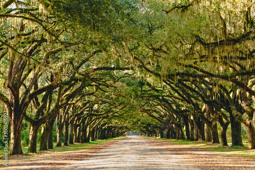 Fotobehang Bomen A stunning, long path lined with ancient live oak trees draped in spanish moss
