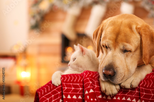 Obraz Adorable dog and cat together at room decorated for Christmas. Cute pets - fototapety do salonu