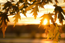 Tree Branch With Sunlit Golden...