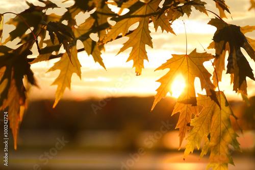Montage in der Fensternische Herbst Tree branch with sunlit golden leaves in park, closeup. Autumn season