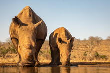Adult And Baby Rhino Drinking Together In A Waterhole
