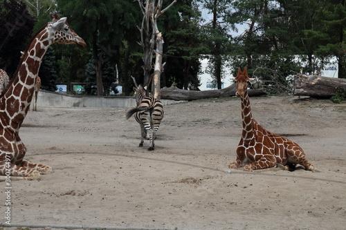 Obraz Zebra-2 - fototapety do salonu