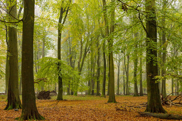 Foggy autumn foliar forest in twilight