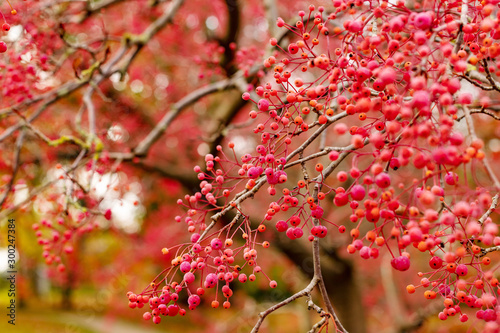 Tableau sur Toile Korean tree with small pink fruits