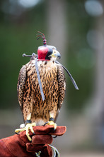 Peregrine Falcon With Head Cap And Harness On Perched On Trainers Leather Glove Ready To Fly