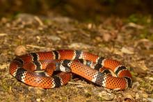 Painted Coral Snake - Micrurus Corallinus