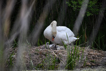 White Swan On Nest