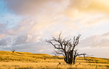 Silhouette Of Kiawe / Mesquite...