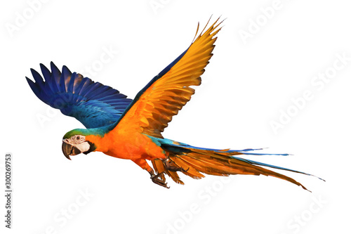Colorful flying parrot isolated on white Canvas Print