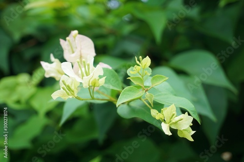 Close up bougainvillea white flowers on green leaf, Blurred Concept, Soft blurry background, White paper flower.