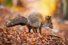 Furry Red Fox, Vulpes Vulpes, Excrementing And Marking Territory In Autumnal Forest With Colorful Leaves On The Ground. Wild Mammal In Woodland Making A Poop.