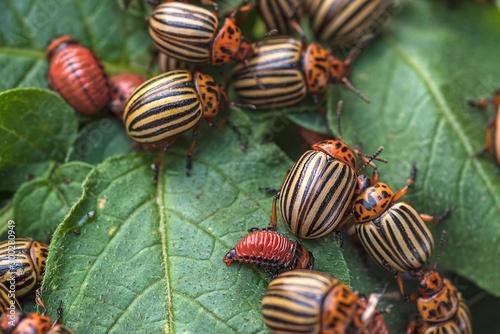 Photo Potato bugs on foliage of potato in nature, natural background, close view