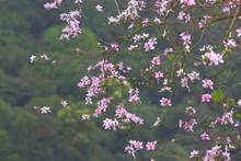 Bauhinia Purpurea Lin Purple Orchid Tree Hong Kong