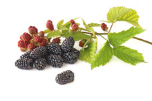 Branch Ripening Blackberries With Ripe Blackberries  Isolated On White