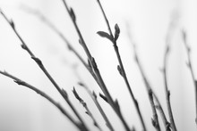 Thin Branches With Shoots And ...