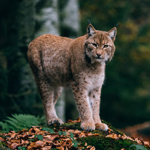 Lynx On A Rock, Standing In Fo...