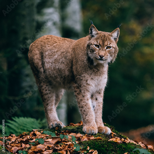Foto op Aluminium Lynx lynx on a rock, standing in forest