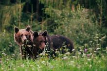 Carpathian Brown Bear In The W...