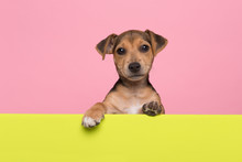 Jack Russell Terrier Puppy Hanging Over The Border Of A Lime Green Board With Its Paws On A Pink Background With Copy Space