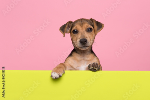 Fototapeta  Jack Russell terrier puppy hanging over the border of a lime green board with it