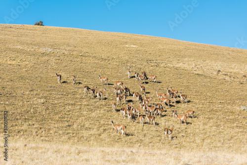 Large herd of wild guanaco lamas in pampas of Tierra del Fuego