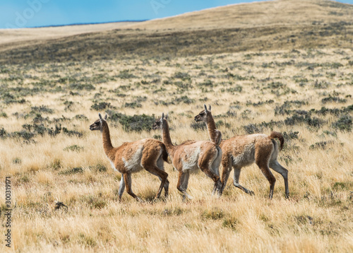 Three curious guanaco lamas in pampa