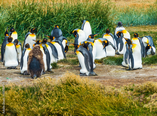 Colony of king penguins at Tierra el Fuego in Chile