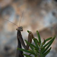 Praying Mantis Resting In Rosemary Leaves