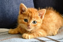 Cute, Little Ginger Red Baby Cat. Close-up Of A Fluffy Redhead Kitten Lying On A Gray Checkered Blanket. Selective Focus