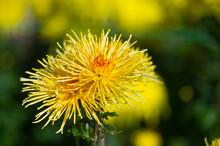 Beautiful Chrysanthemums In Ga...