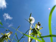 Giant Dandelion Flower,  To Th...