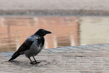 Crow On A Sewer Manhole