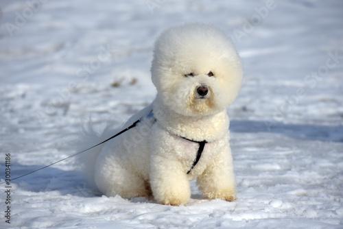 Fotografie, Obraz  Bichon frize breed  white color