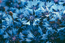 Cornflower Plant With Blue Flo...