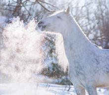 Dappled Mixbred Gray Horse Win...