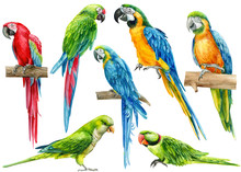 Set Of Parrots, Birds On An Isolated White Background, Watercolor Illustration, Hand Drawing