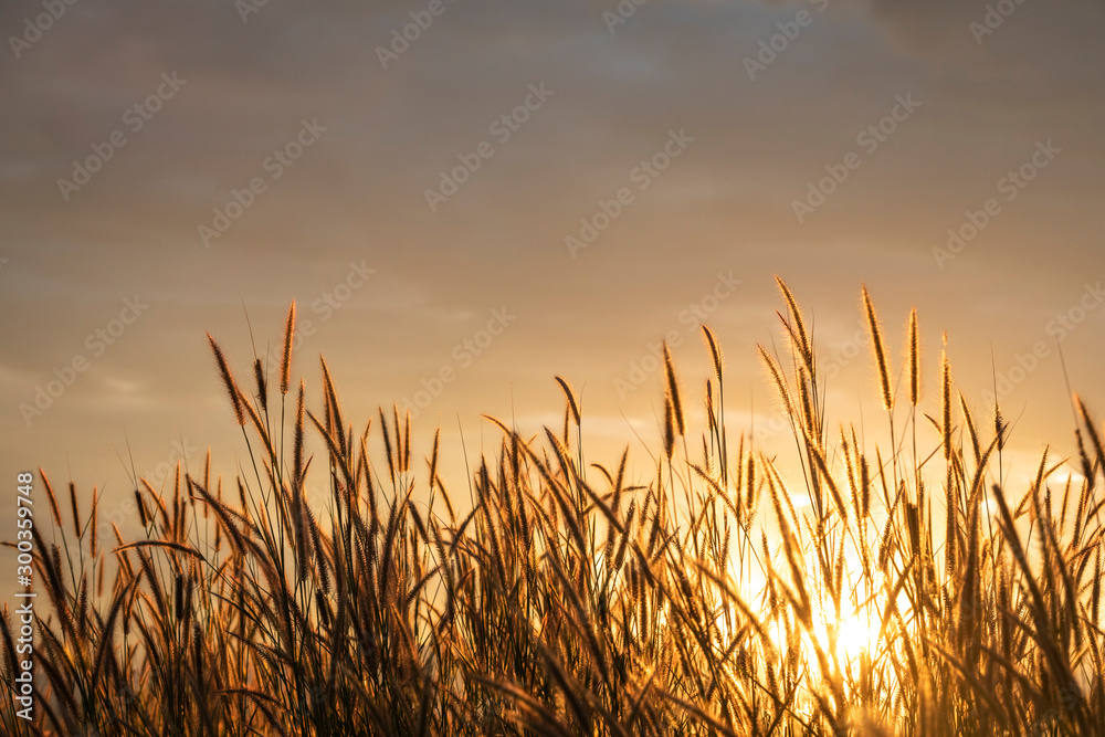 Fototapety, obrazy: grass flower with golden time of sunset as background