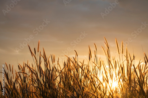 Foto auf Leinwand Gras grass flower with golden time of sunset as background