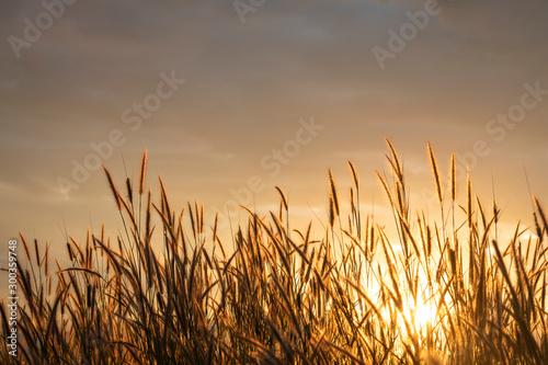 Foto auf Gartenposter Beige grass flower with golden time of sunset as background