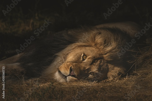 Foto op Plexiglas Leeuw Closeup shot of a lion laying on a dry grassy field while looking towards the camera