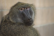 Closeup Shot Of A Baboon Sitti...