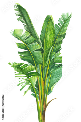 Fototapeta tropical plants, banana palm on an isolated white background, watercolor illustration, hand drawing, botanical painting obraz na płótnie
