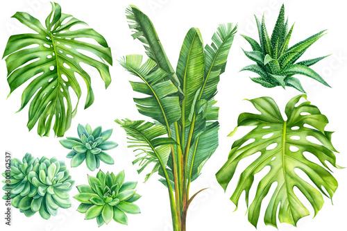 Fotomural  set of tropical plants, banana palm, succulents, haworthia, monstera leaves on a