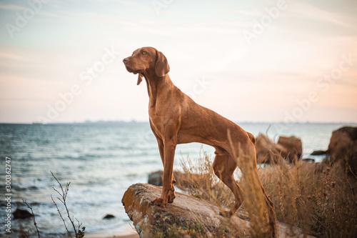 Leinwand Poster Red dog vizsla standing on the stone sea