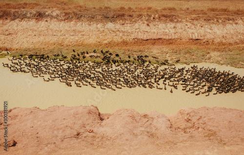 Fotomural Wild Ducks Flock in river near Floating Village in Cambodia